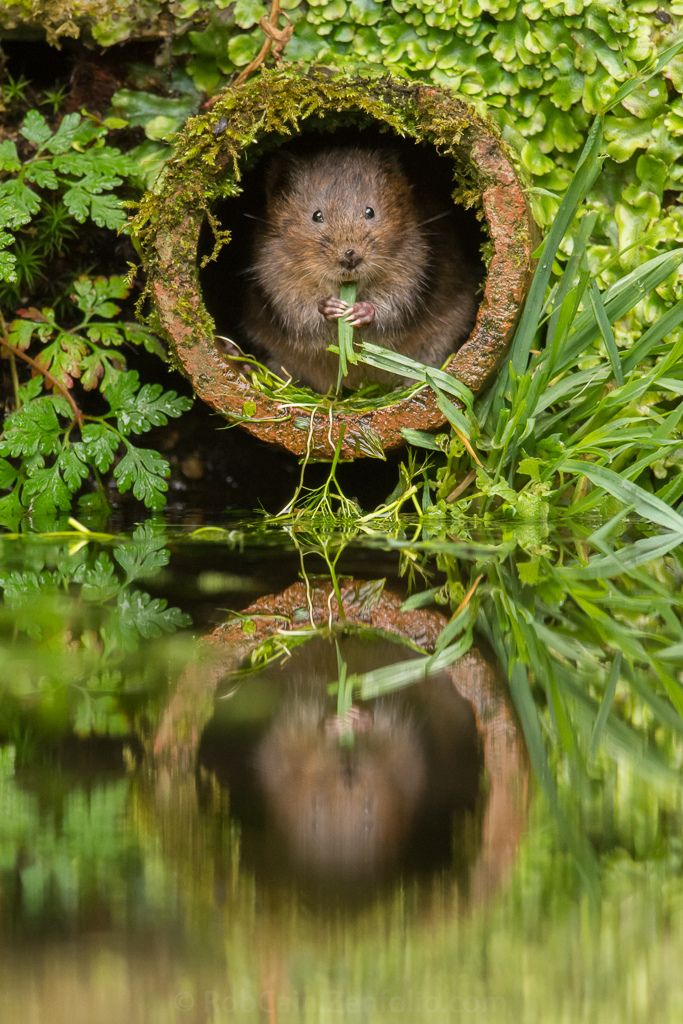 Water Vole – Kent, England | Amazing Travel Pictures - Amazing Pictures, Images, Photography from Travels All Aronud the World