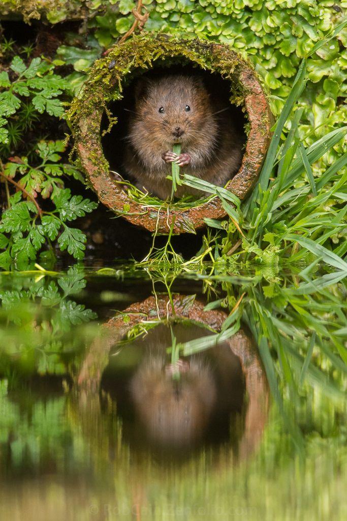 Water Vole – Kent, England