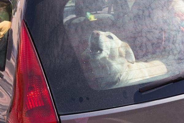 Een alerte voorbijganger heeft vanmorgen een hond uit een tamelijk warme auto gered. De man zag de hond opgesloten zitten in een geparkeerde auto in Almelo en sloeg direct een raam in, waarna het dier kon worden bevrijd. De eigenaresse van de hond postte op dat moment een brief om de hoek. Tegen haar is proces verbaal opgemaakt. De hond [...]