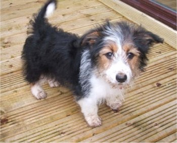 How cute is this little guy?  A Border Collie, Corgi mix!  I want him!