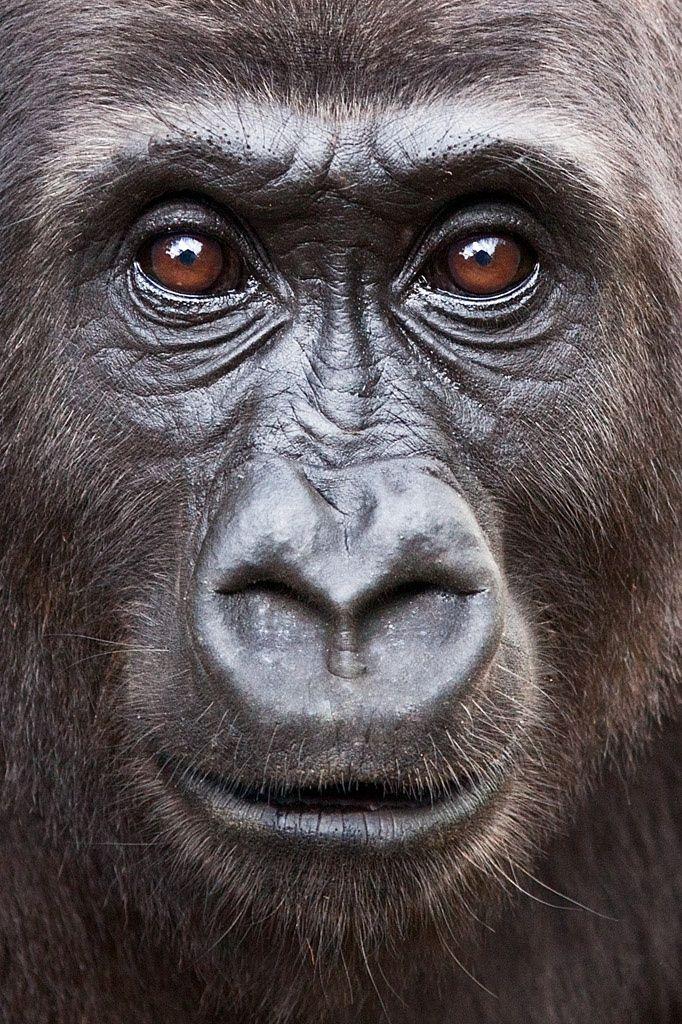 Photograph Nona by Ian Bickerstaff on 500px Female gorilla, Mefou Sanctuary, Cameroon
