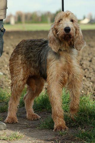 Tilka : chien croisé grand griffon vendeen à adopter dans la ...