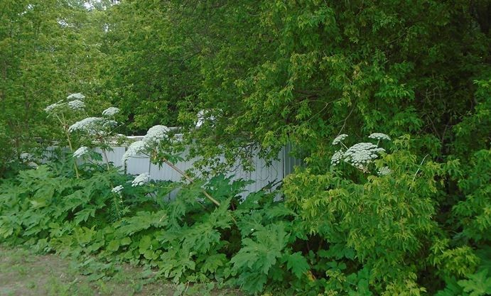 Dangerous giant hogweed plant discovered in Stouffville | InsideToronto.com