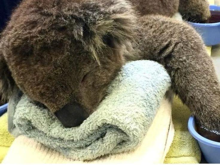 Il ne doit sa survie qu'à l'intervention in extremis d'un pompier. Baptisé Jeremy par son sauveur, un koala a été pris mardi dans des violents incendies qui ont ravagé les collines d'Adélaide, dans le sud de l'Australie. L'animal a été dans la foulée recueilli par l'Organisation de sauvetage et de recherche pour la vie sauvage et marine d'Australie (AMWRRO) dans un triste état, brûlé au second degré.