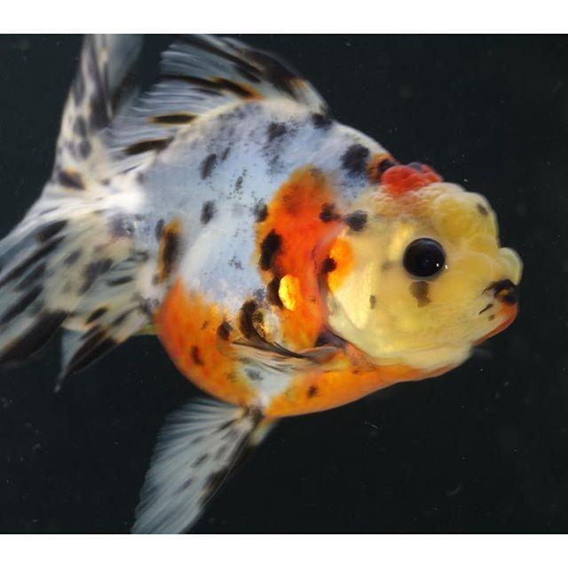 "【goldfish_angel33】さんのInstagramをピンしています。 《I named this calicooranda ""Musashi""武蔵  東錦の男の子(多分)、東の子ということで""武蔵""君です ちょっとカッコ良すぎるけど、カッコよくなってね〜💕 #金魚 #水槽 #アクアリウム  #goldfish #goldfishunion #goldfishtank #aquarium #goldfishofinstagram #watertank #goldfishlover #instagoldfish #goldfishinstagram #goldfishjunkie #fancygoldfish #goldfishcommunity #goldfishkeepers #fancygoldfishkeeping  #goldfishes #東錦 #calico》"