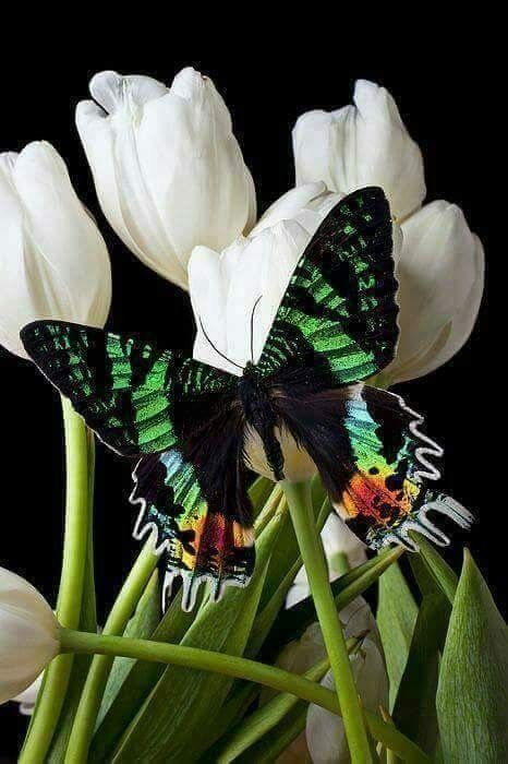 """Moths generally have feathery antennae and hardly any species have clubbed antennae <a class=""""g1-link g1-link-more"""" href=""""https://meowlogy.com/2018/02/10/24-beautiful-butterflies-moths/"""">More</a>"""