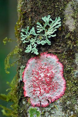 Unusual red lichen on a rainforest tree, Cerro de la Muerte, Costa Rica.