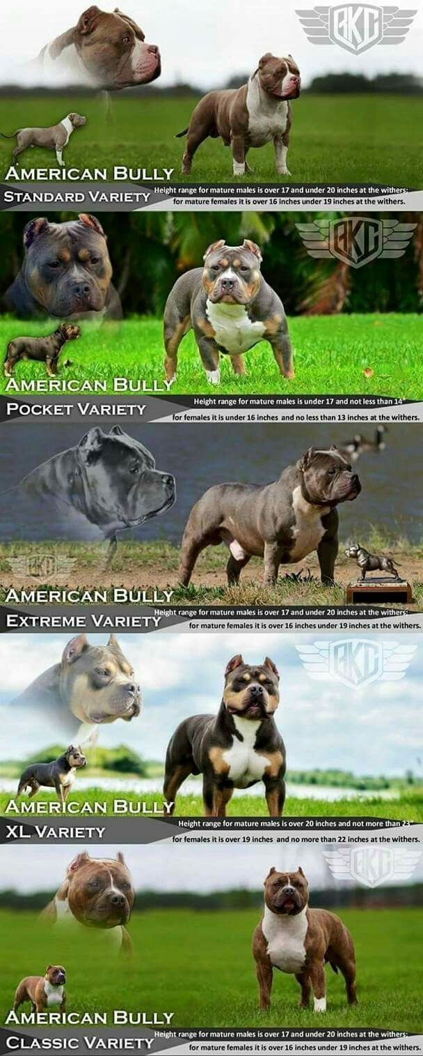 Types Of Pitbull Dog Breeds Bully Breeds Dogs American Bulldog Puppies Bully Dog