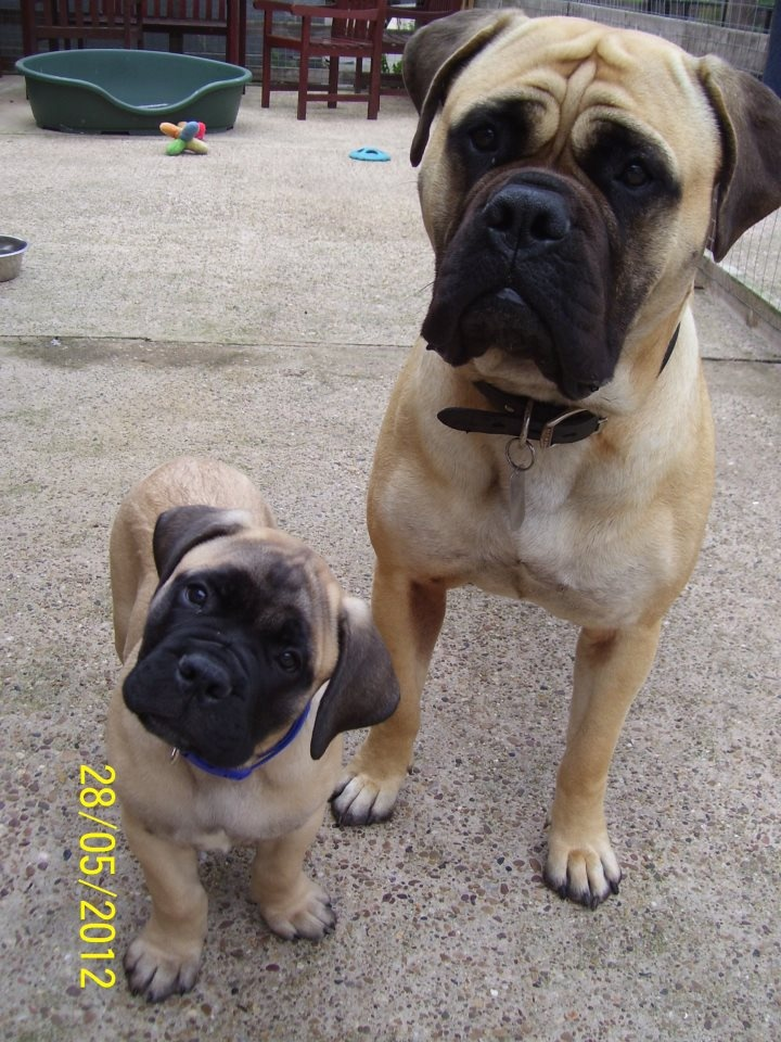 American bullmastiff for sale in uk