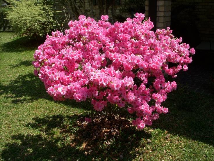 Azalea bush ~