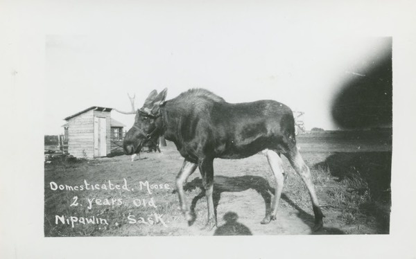 Domesticated moose, 2 years old, Nipawin, Sask. | saskhistoryonline.ca