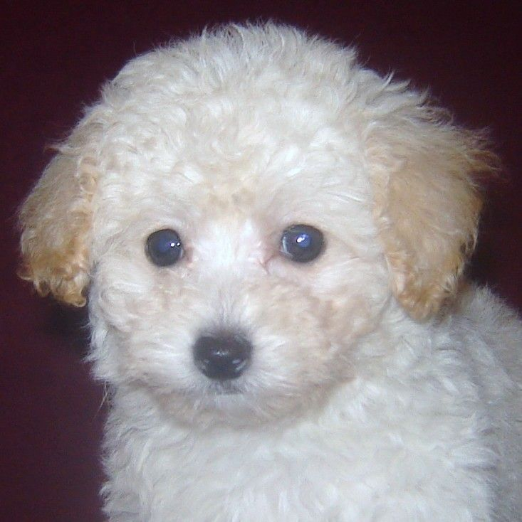 30 Best Images About Pawprints With Poodles On Pinterest