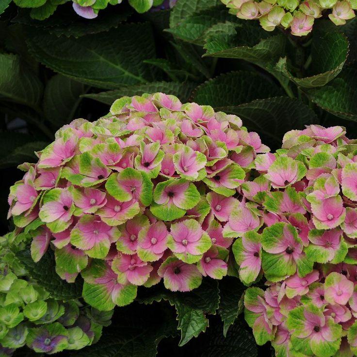 Hydrangea macrophylla Everlasting® Amethyst