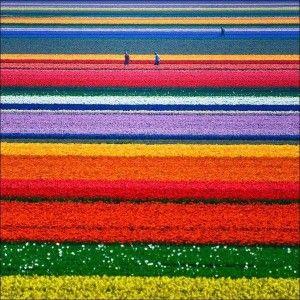 campi-di-tulipani
