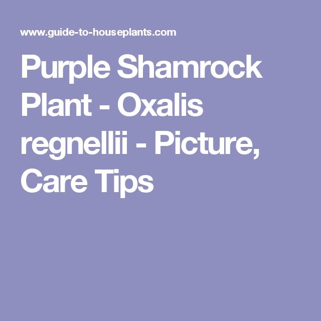 Purple Shamrock Plant - Oxalis regnellii - Picture, Care Tips