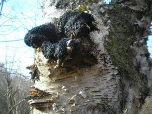 Chaga Mushroom (Inonotus obliquus) Has many health benefits  Chaga is a mushroom that mostly grows with the Birch tree, all through the boreal regions of our planet.  It has a symbiotic relationship with Birch, exchanging with living trees in a way that benefits both organisms, rather than a recycler/parasitic relationship, eating a dying or dead trees.