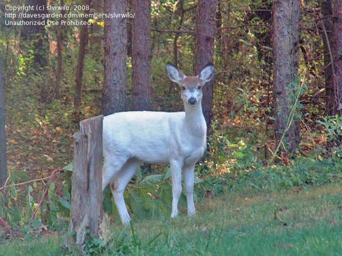 pied deer - Google Search | Deers | Pinterest