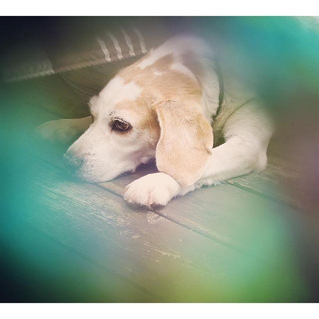 ☔️雨で つまんない・・・💧💧💧 #mydog#dog#beagle#愛犬#犬#いぬ#わんこ#ビーグル#レモンビーグル#雨#雨降り#つまんない#💧