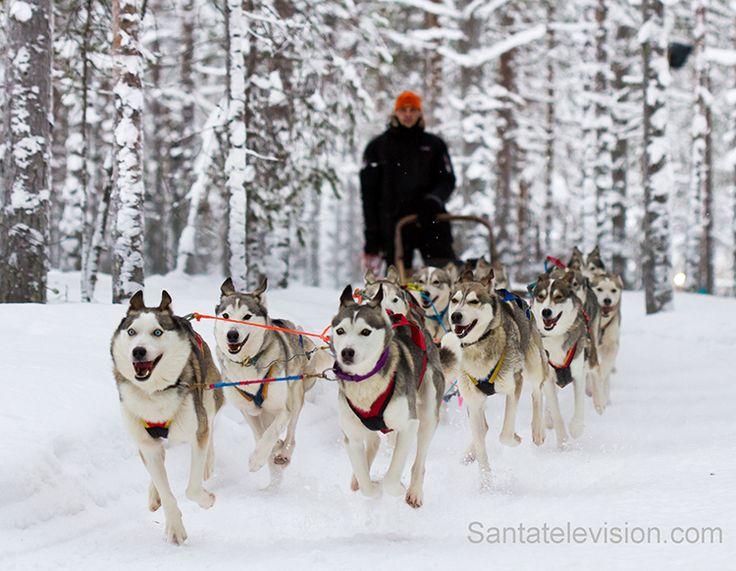 Собаки хаски в Лапландии, Финляндия