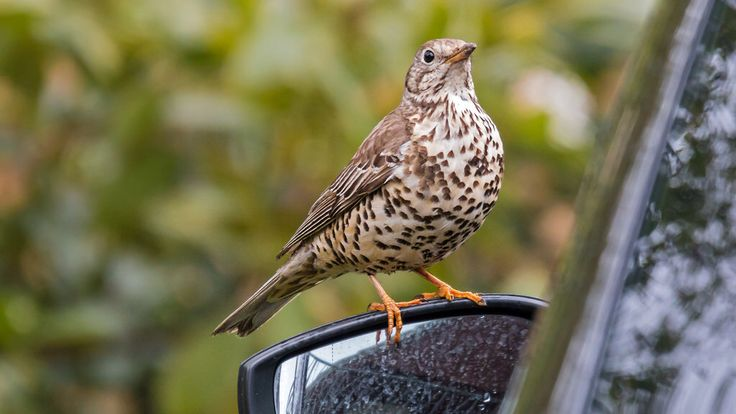 Misteldrossel (Mistle Thrush)