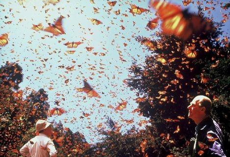 Monarch Butterfly Biosphere Reserve, millions, even billions butterflies fly to mexico for winter