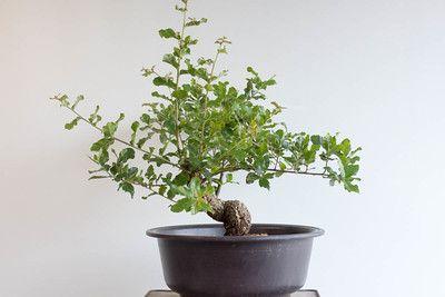 Field grown cork oak update