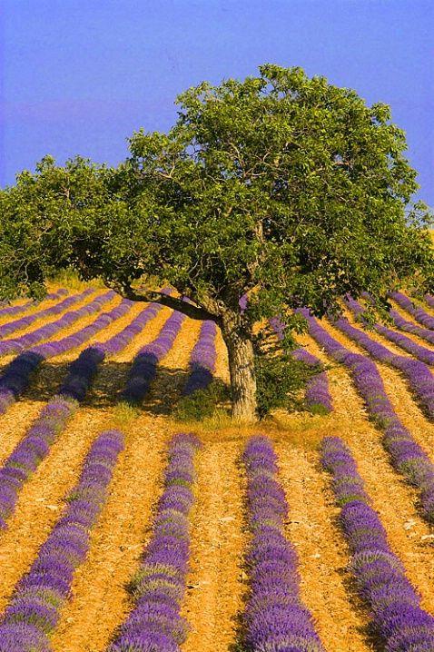 Arbre dans un champ de lavande - Provence - France