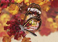88. Mariposa Transparente.