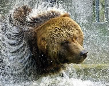 Kodiak Bear When I was in Alaska fishing..now Denali,I had this staring down at me from the cliff above...I was twelve and ran every bit of it.