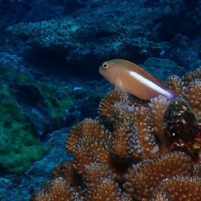 【ht7226】さんのInstagramをピンしています。 《メガネゴンベ 宮古島 #メカネゴンベ #宮古島ブルー  #沖縄ダイビング #ダイビング仲間  #海#水中写真 #ファンダイビング  #scuba #diver #diving#sea #underwaterphotography #ocean #okinawa #miyakojima #tg4》