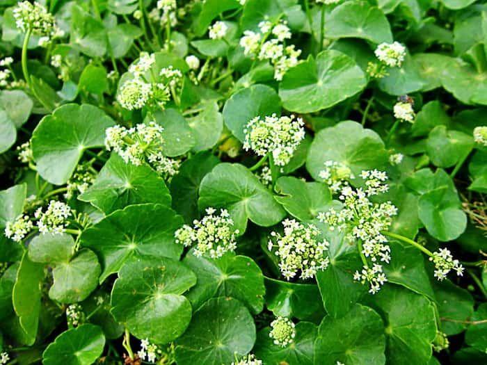 Hojas Y Flores De La Centella Asiática Centella Asiatica Lirios Flores
