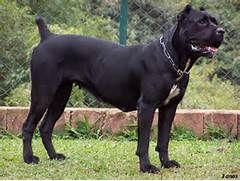 Cane Corso - Razze di cani - La community di chi ama i cani
