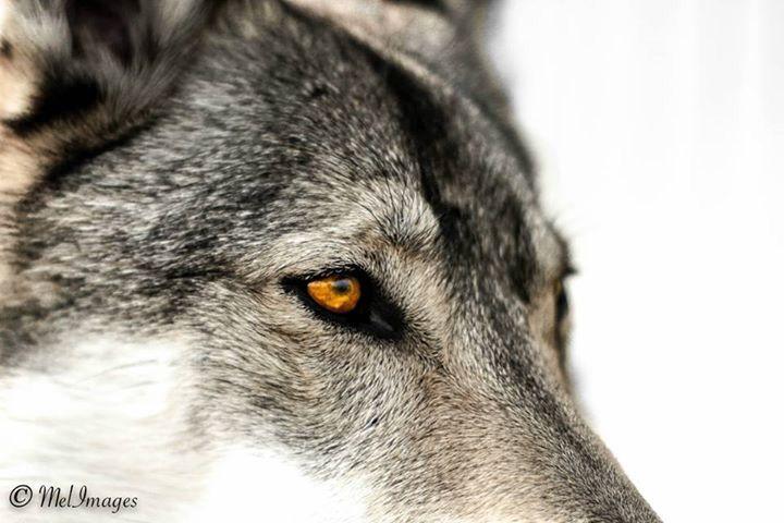 Le regard de mon chien-loup