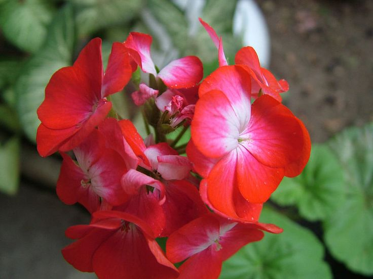 Hola amigos, ¿cómo estáis? Hoy os vamos a dar algunos consejos sobre la poda de geranios. Estas preciosas plantas con más de 250 especies que decoran nue