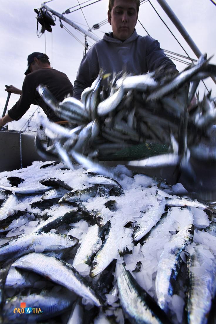 Sardine fishing, Croatia