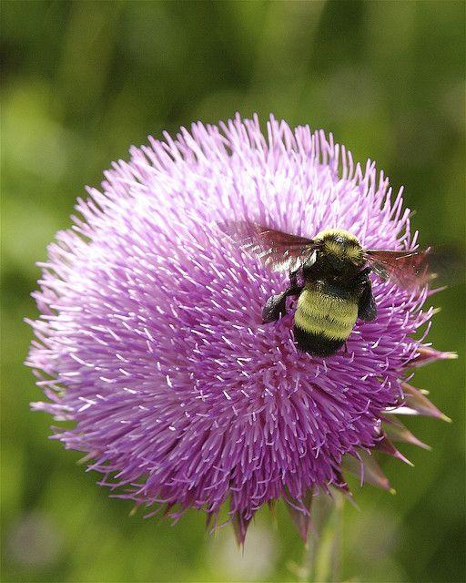 """American bumblebee is crashing, too: A """"big fuzzy"""" American bumblebee. Photo: Dan Mullen  Via @SmithsonianMag on Twitter"""