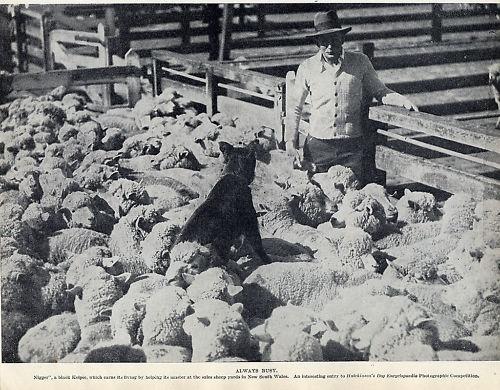 AUSTRALIAN KELPIE ORIGINAL VINTAGE 1934 DOG PRINT MAN DOG AND SHEEP