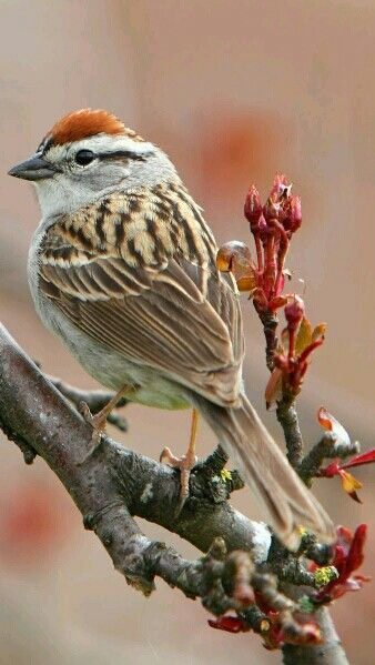 Chipping Sparrow in a flowering crab tree. - by Jeff Dyck