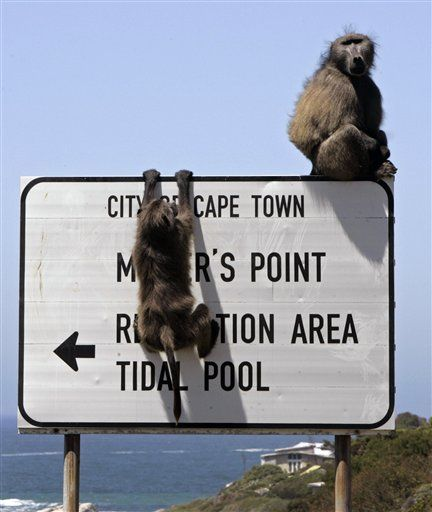 Baboons directing traffic... Cape Town