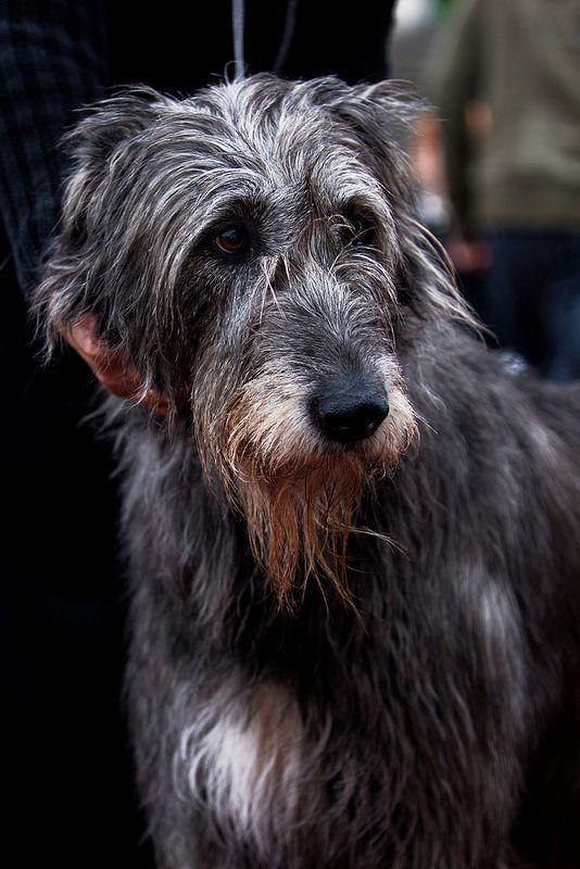 Irish wolfhound - Looks like the English Sheepdog / Black Lab mix we once had!