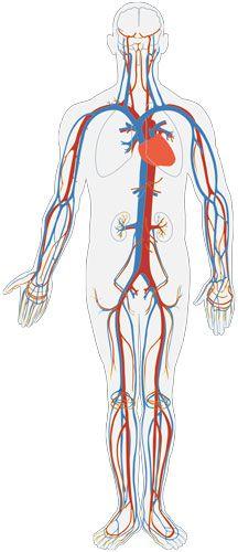 Der Blutkreislauf: großer und kleiner Blutkreislauf