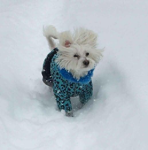 Otto, dragalas si vesel in Salopeta de Iarna de la King Maru --> https://kingmaru.ro/  #hainecaini #accesoriicaini #imbracamintecaini #caine #caini #catel #catei #dog #dogs #kingmaru
