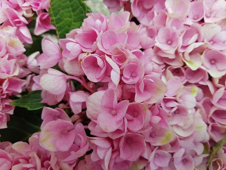 Hydrangea Macrophylla Magical Revolution Pink Growing Hydrangeas Hydrangea Garden Hydrangea