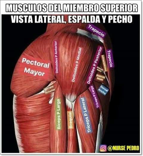 Mejores 109 imágenes de Músculo en Pinterest | Anatomía humana ...