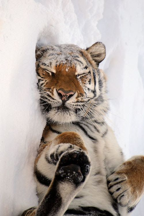 Love this tiger ;)