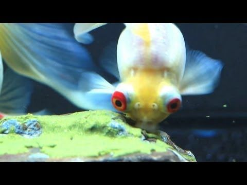 129 best images about i want a betta on pinterest betta for Betta fish personality