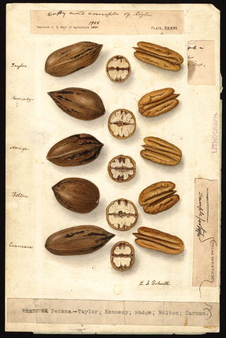 Artist: Schutt, Ellen Isham, 1873-1955  Scientific name: Carya illinoinensis  Common name:     pecans  Physical description:     1 art original : col. ; 17 x 25 cm.  NAL note:     Watercolor includes these varieties: Taylor; Kennedy; Hodge; Bolton; Carman; Watercolor includes mock up for Yearbook of Agriculture; Assigned specimen number  Specimen:     [00292]  Notes on original:     [first row of specimens]Taylor; [second row] Kennedy; [third row] Hodge; [fourth row] Bolton; [fifth row]…