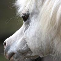 Gydros Gla Girl - Welsh mountain pony - 1988 grey mare