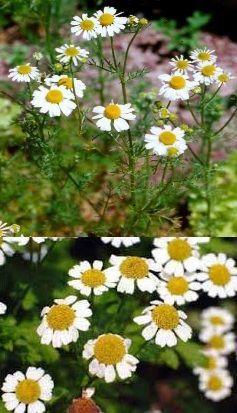 O . Chamaemelum nobile (Camomille romaine):  -Les infusions aident à lutter contre : l'insomnie, les cauchemars, les maux, et la mauvaise digestion. -Pour une infusion: 3 fleurs sécher + du miel (pour adoucir) + eau cheaude