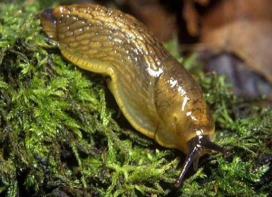 The UK is now being invaded by the Giant Spanish Green Slug which can cause untold damage to vegetable plots and crops.